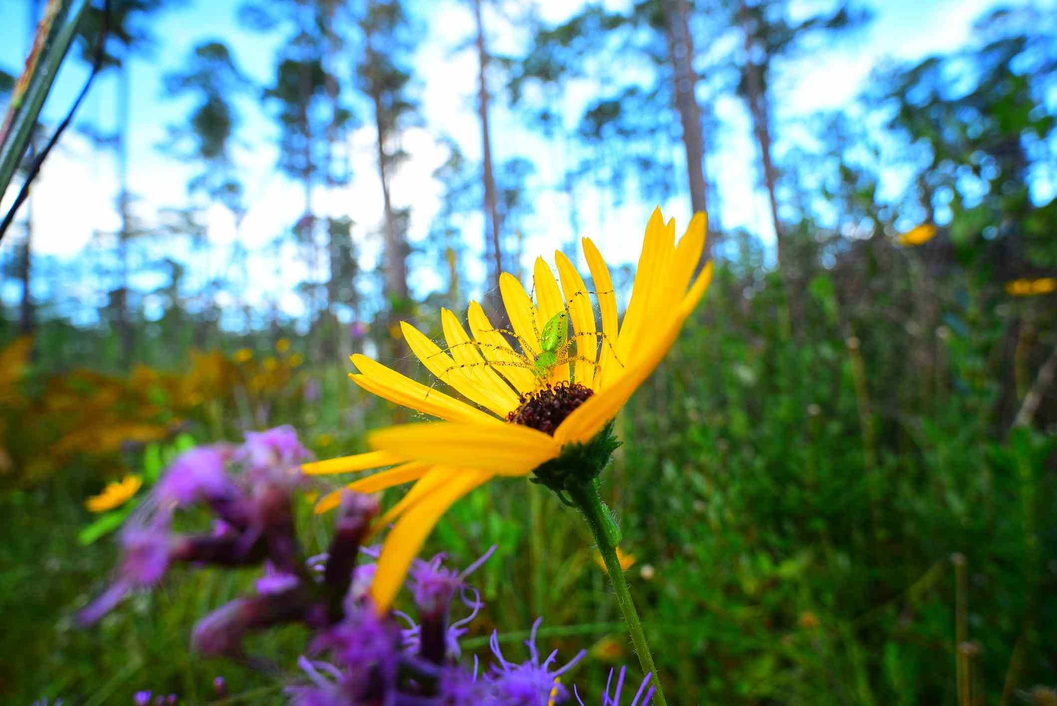 A green lynx spider climbs on a yellow flower in Florida