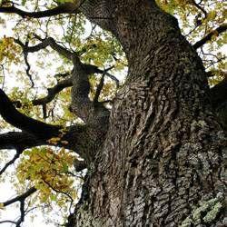 oak tree, native plants landscaping