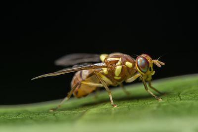 A closeup of a fruit fly on a leaf