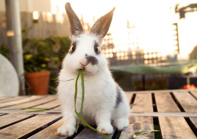 Bunny sitting on a patio table eating grass