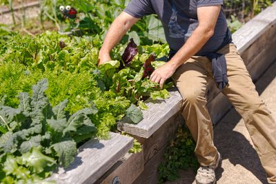 man sits on edge of raised garden bed to harvest fresh lettuce and kale