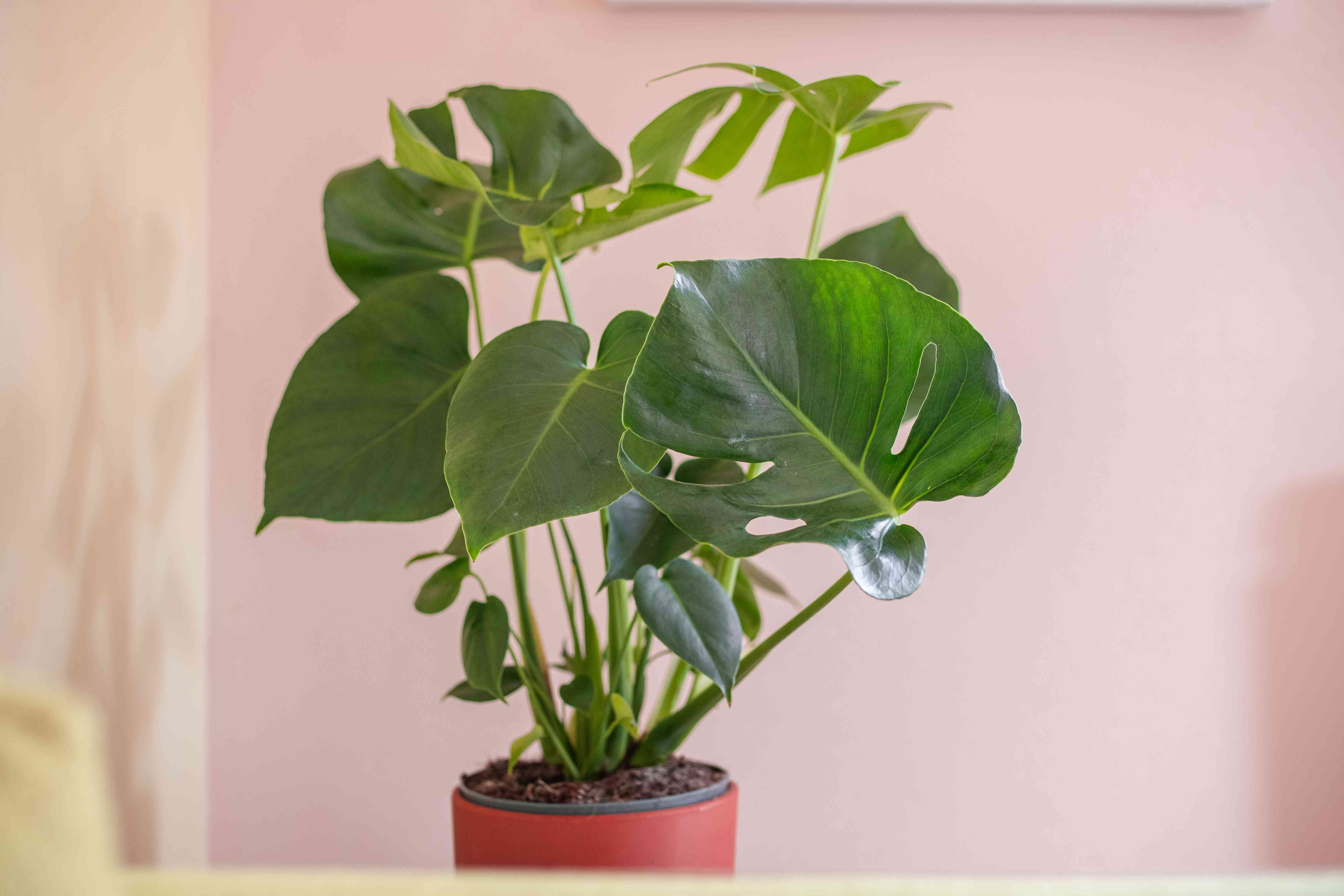 swiss cheese monstera houseplant with shadow against pink wall