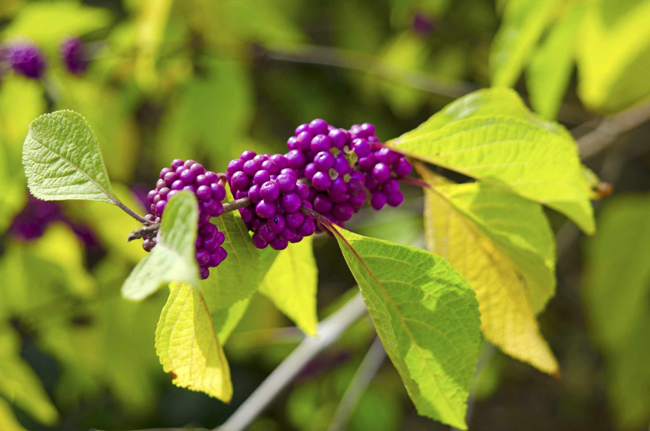 A close up of leaves and berries of an American Beautyberry.