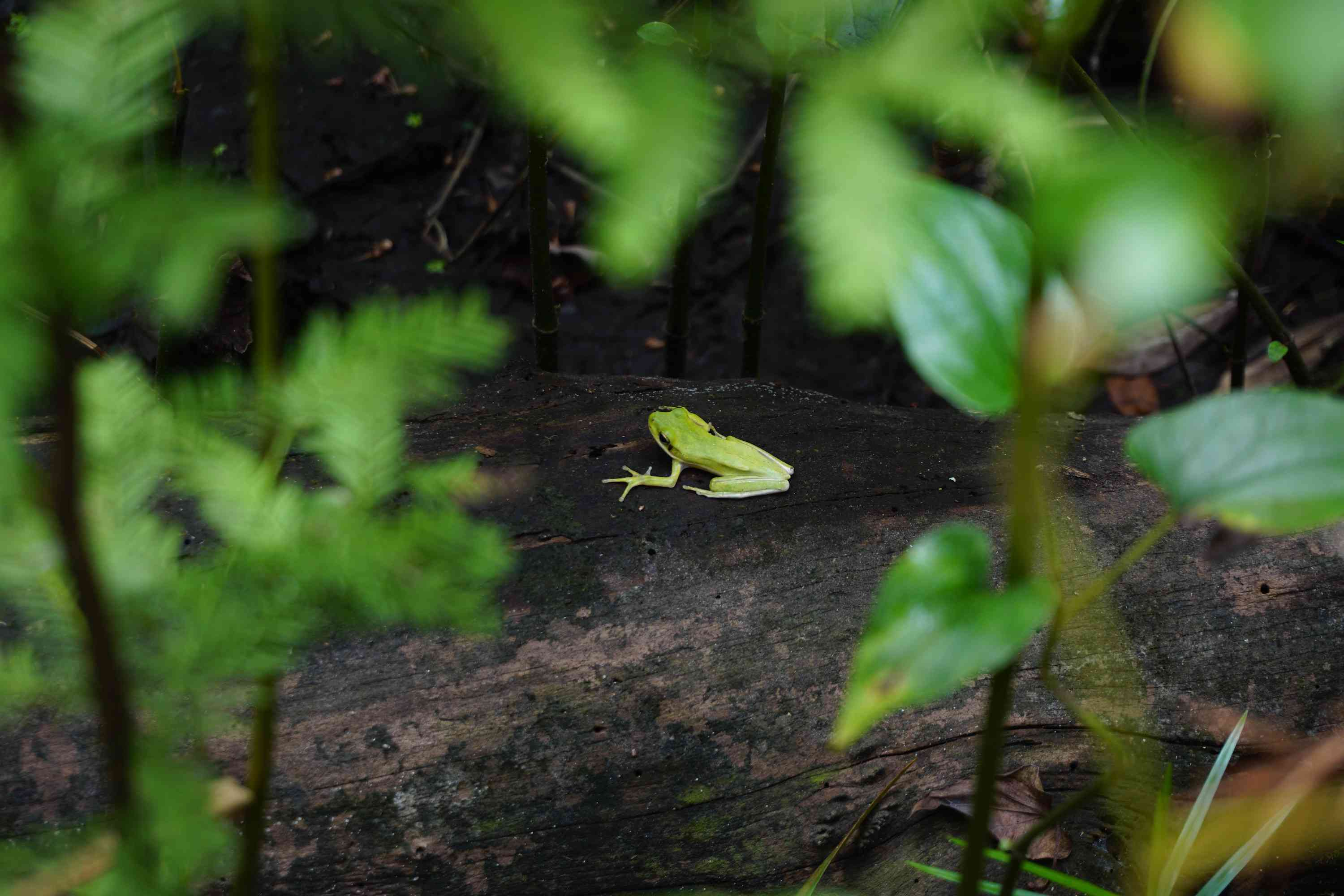 A green tree frog on a log in a forest in North Carolina