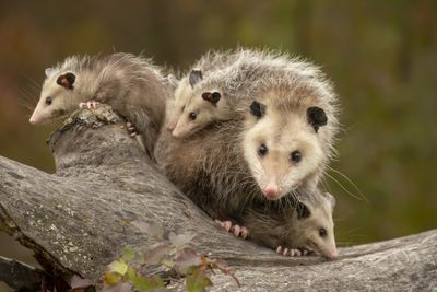 female opossum surrounded by her young, two are on her back