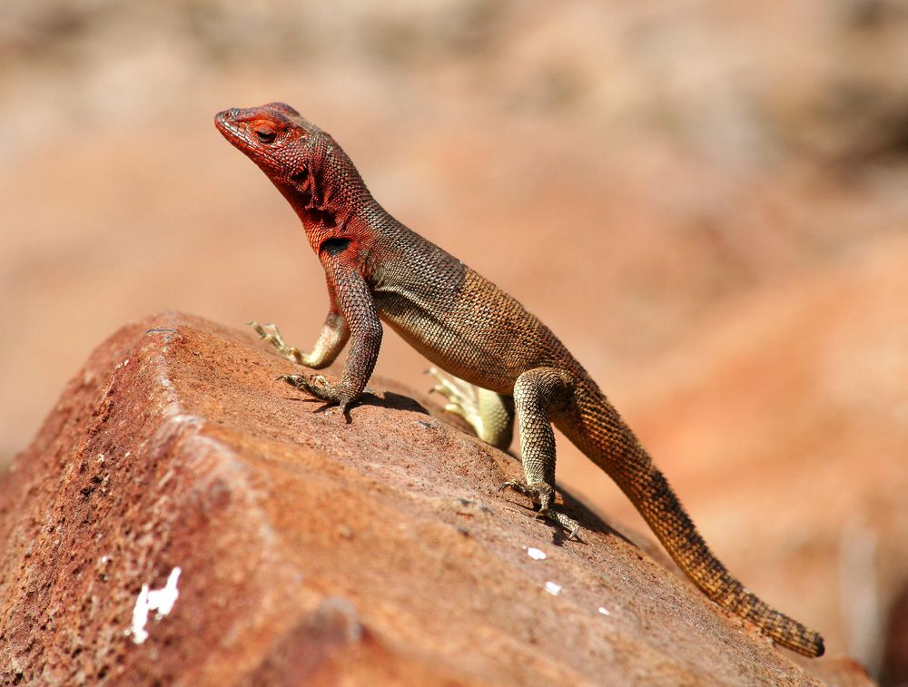 small brown gecko like lizard with rust colored markings on side of face and neck