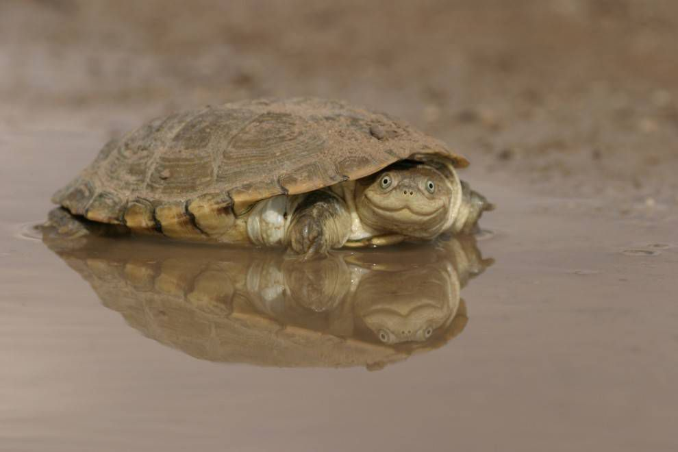 African helmeted turtle sitting the water
