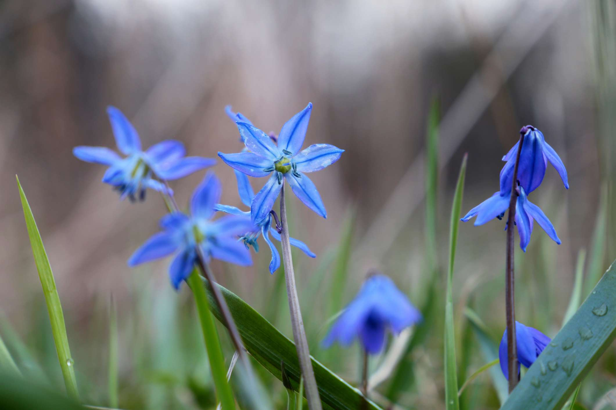 Scilla flowers opening after a spring rain