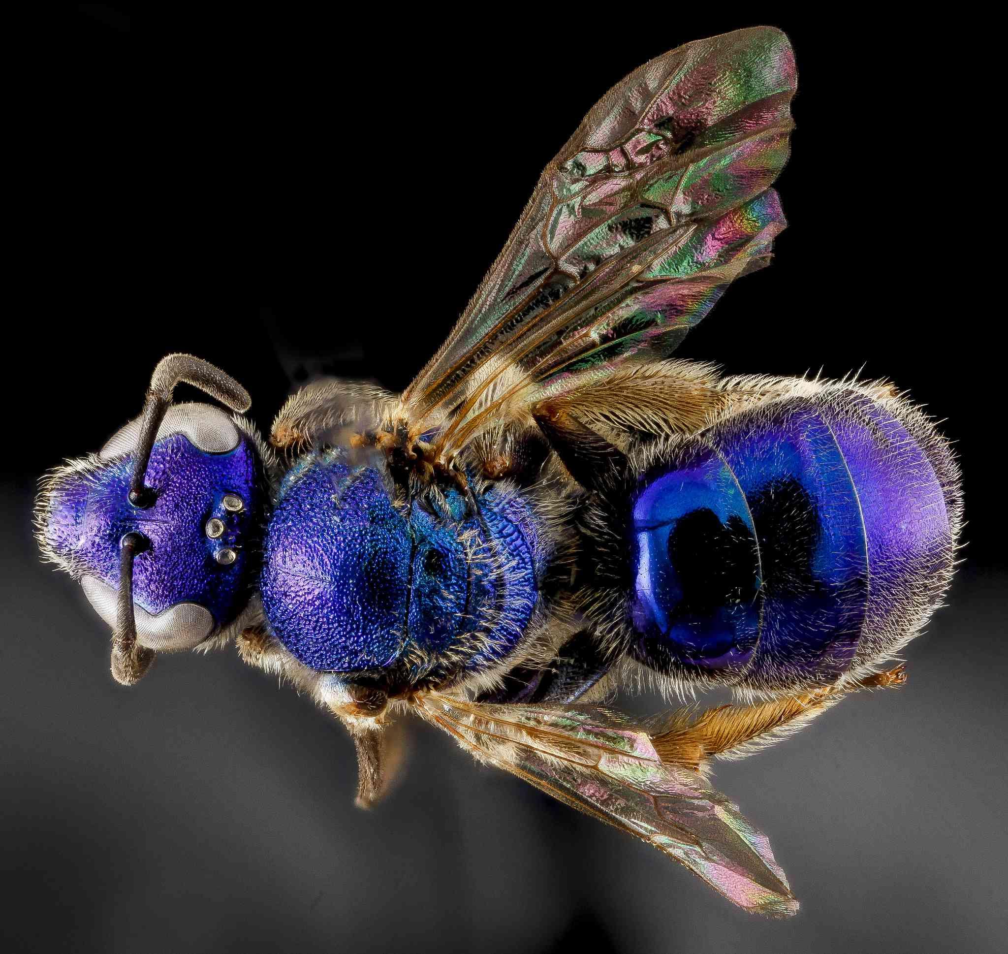 native purple bee