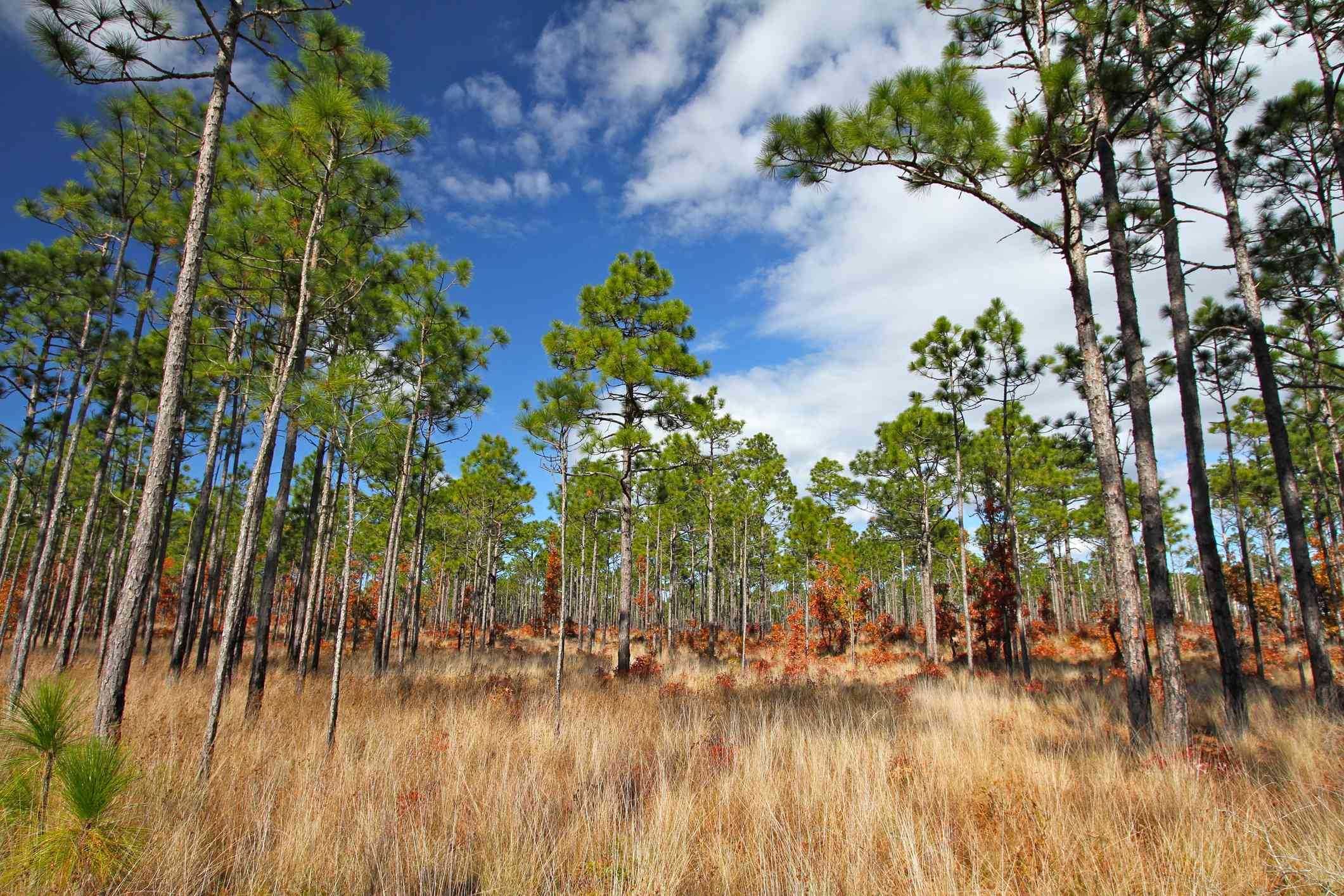 Towering longleaf pines and golden grasses under blue sky
