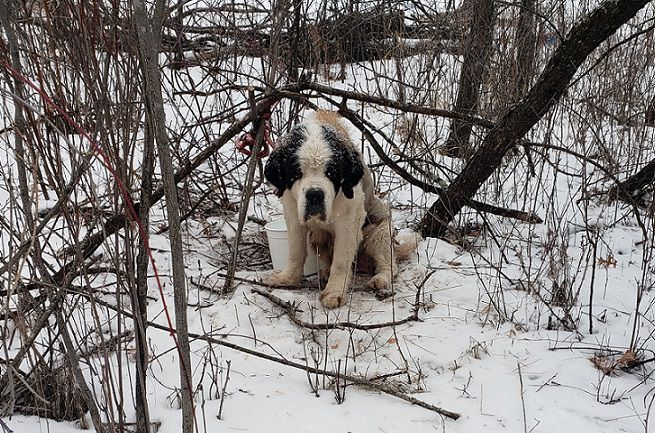 Lost St Bernard trapped in bushes by its lease