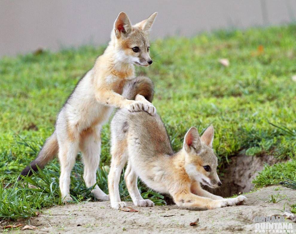 13++ Baby fox name kit information