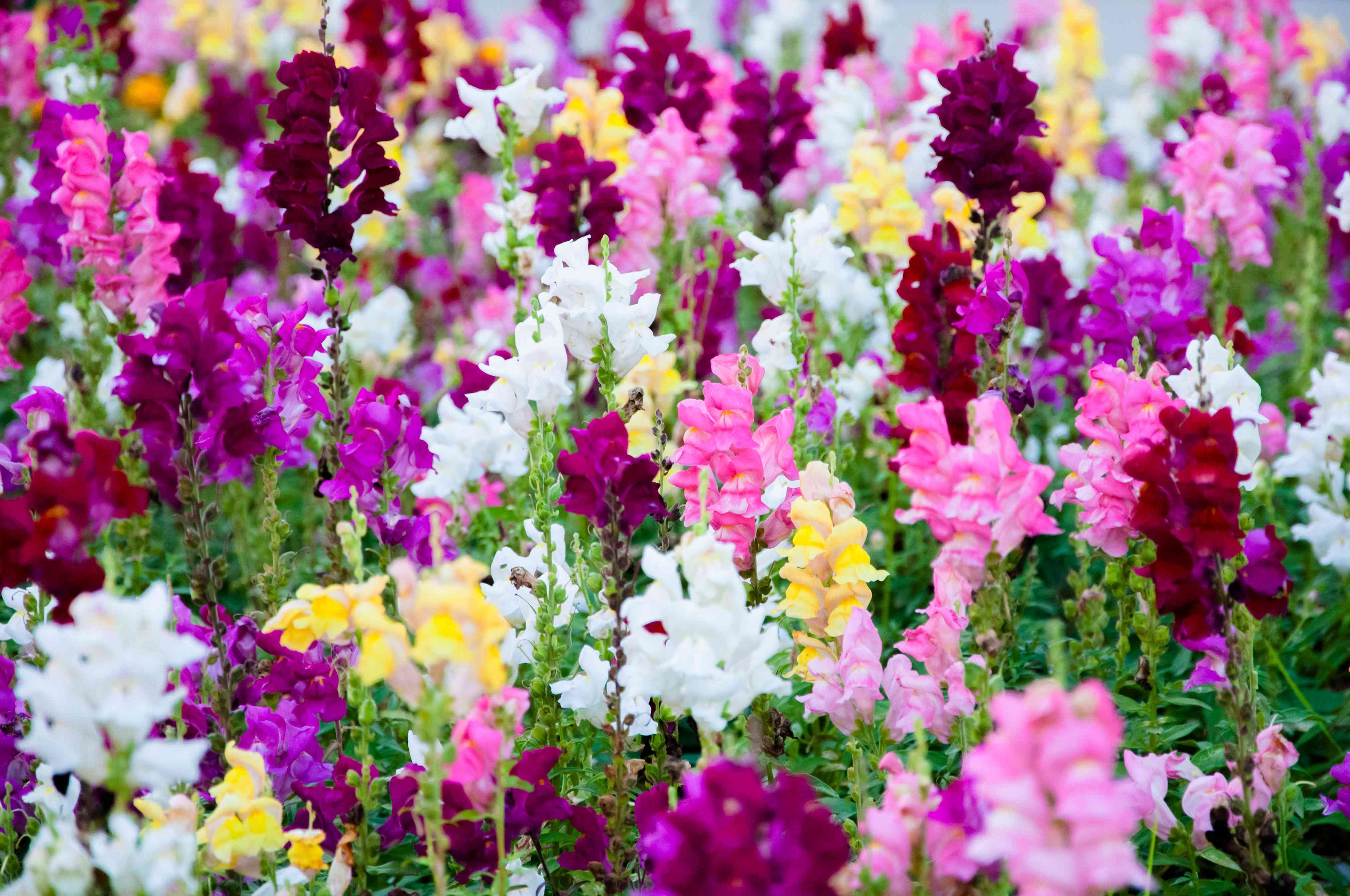 Colorful snapdragons in a garden.