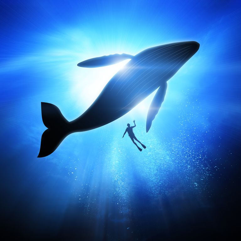 Whale and human swimming in the ocean as seen from below