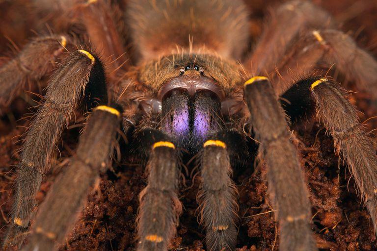 blue fang skeleton tarantula closeup, looking at camera