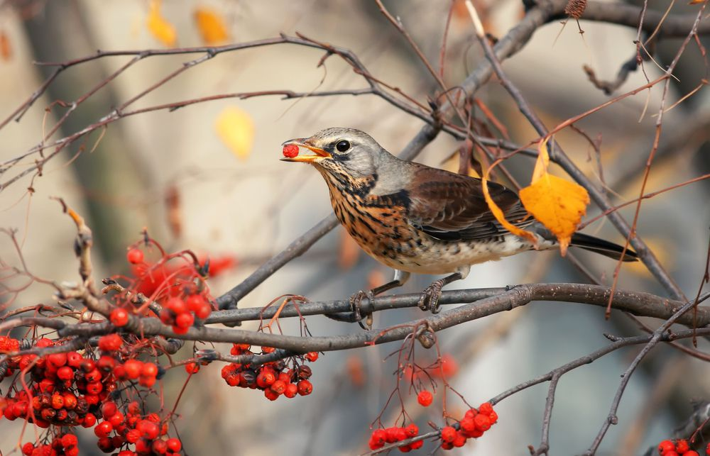 A thrush eats berries on a tree