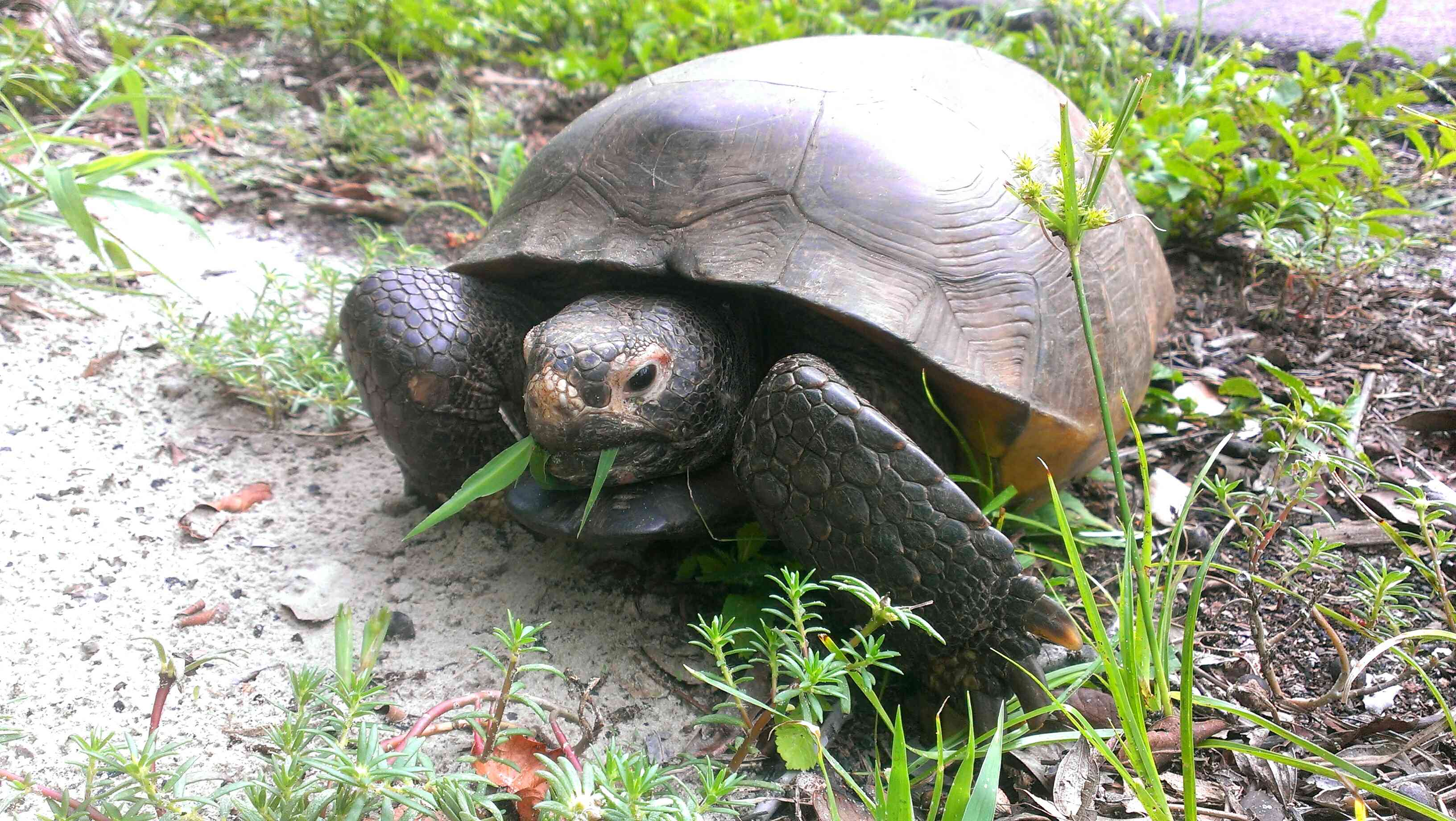 High Angle View Of Gopher Tortoise On Field