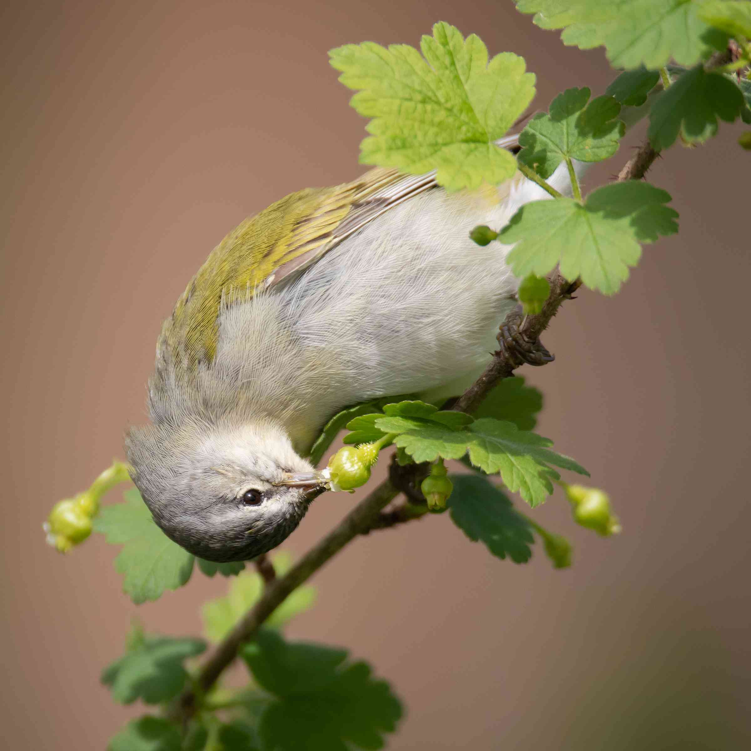 Tennessee Warbler on an eastern prickly gooseberry