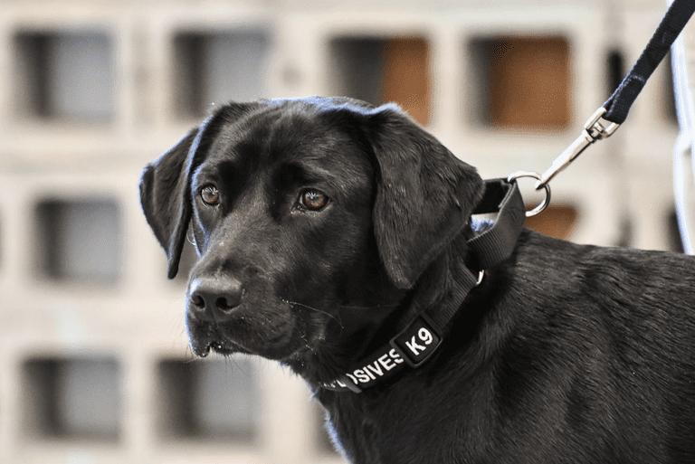 Lulu, la perra, deja a un lado sus sueños de la CIA