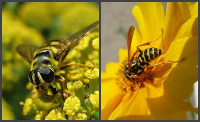 hover fly and a yellow jacket