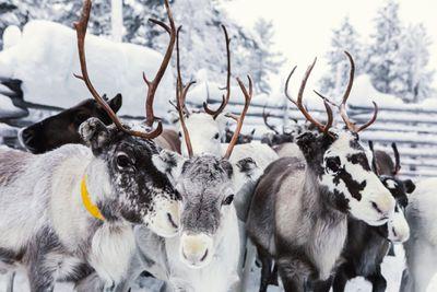 Reindeers on a farm, Hetta, Enontekioe, Finland