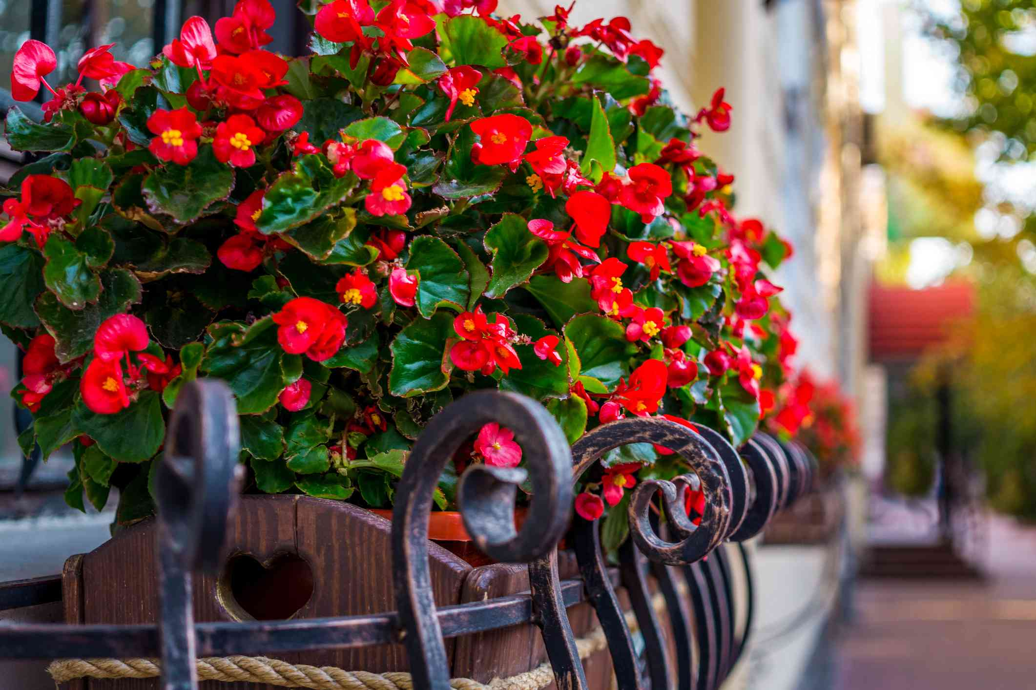 Red begonias blooming on a balcony