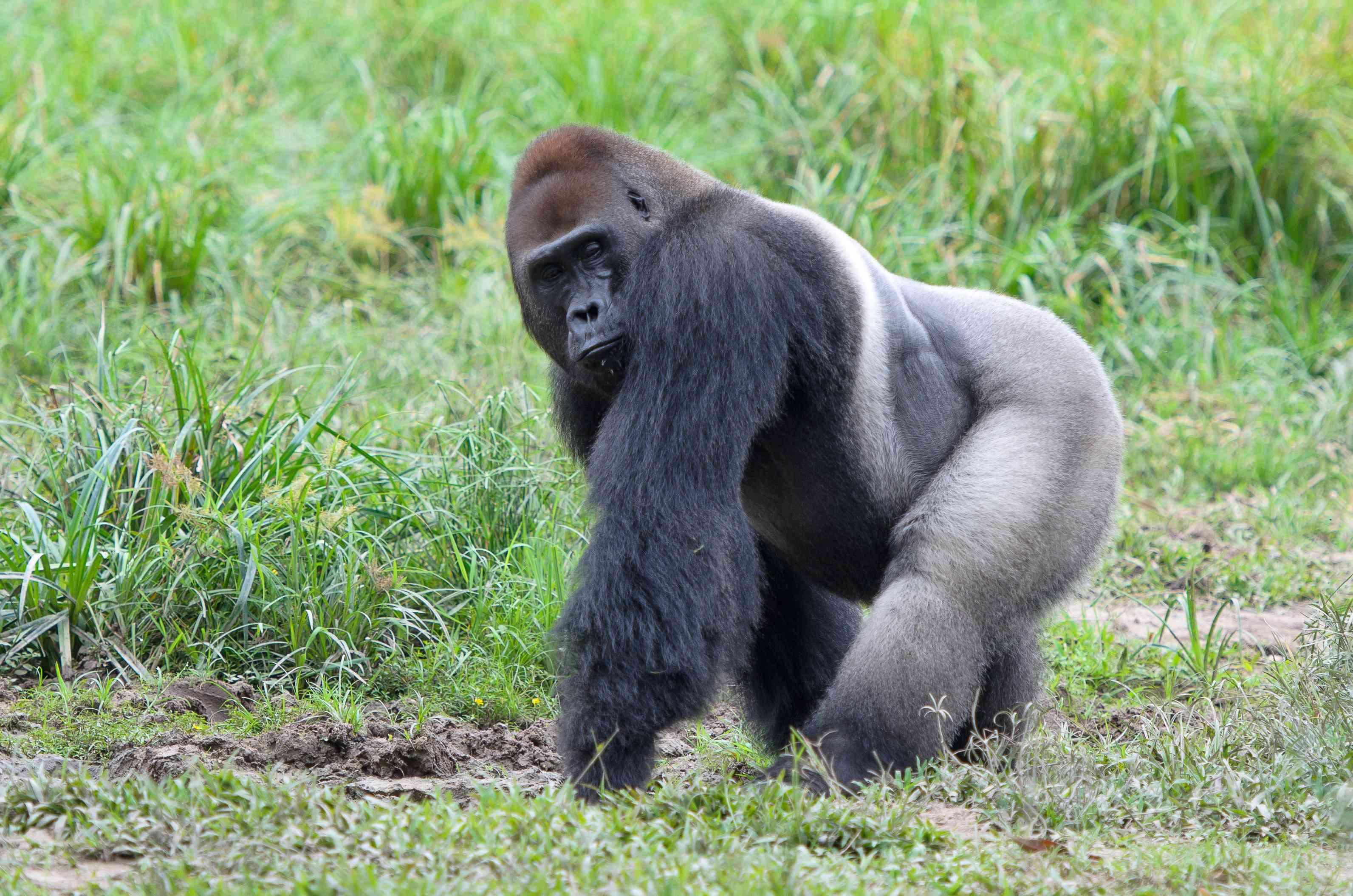 Portrait of western lowland gorilla (Gorilla gorilla gorilla), Bayanga, Central African Republic