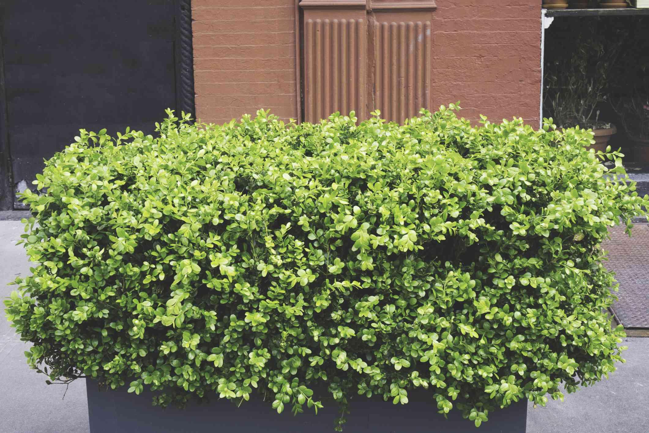 Big green shrub on the sidewalk of new york city