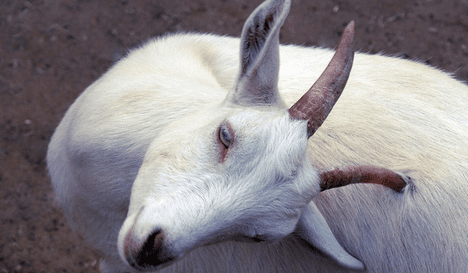 goat meat sustainable photo