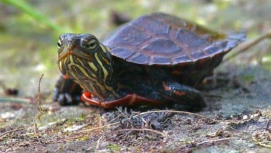 Las tortugas se vuelven hembras a medida que los hábitats se calientan