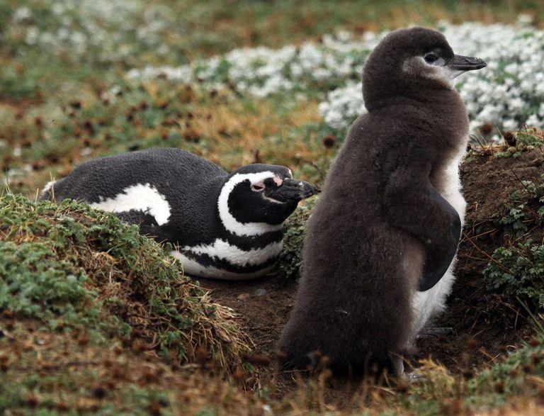 ¡Oh, no! Los polluelos de pingüinos de Magallanes de Argentina están siendo asesinados por el calentamiento global