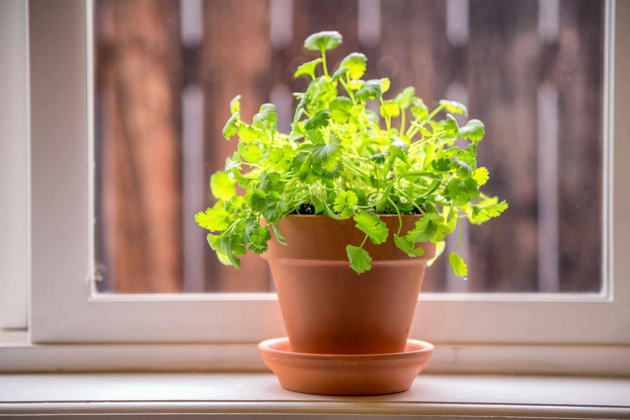 Cilantro in terracotta pot on windowsill