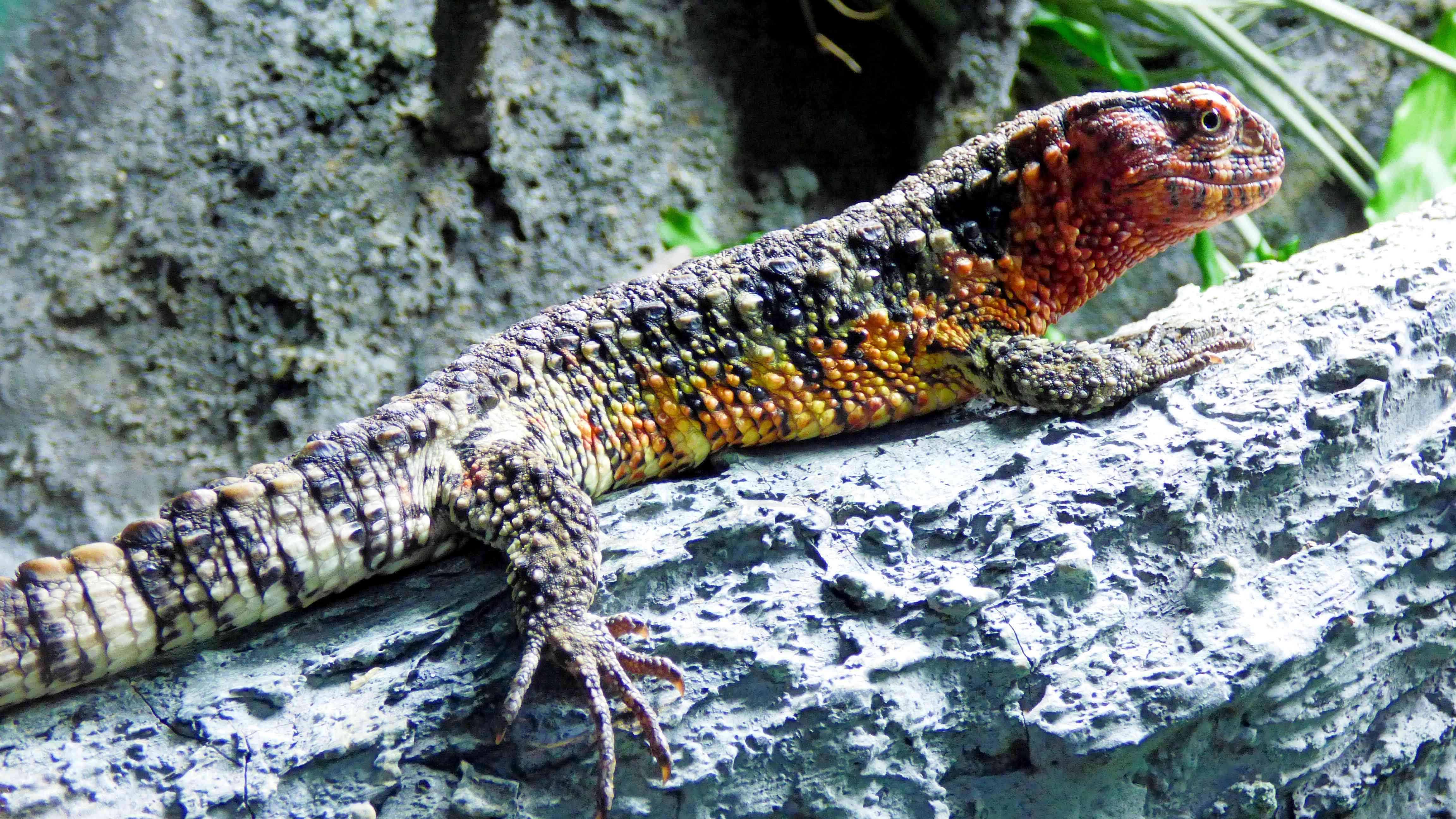 A Chinese Crocodile Lizard on a tree trunk.