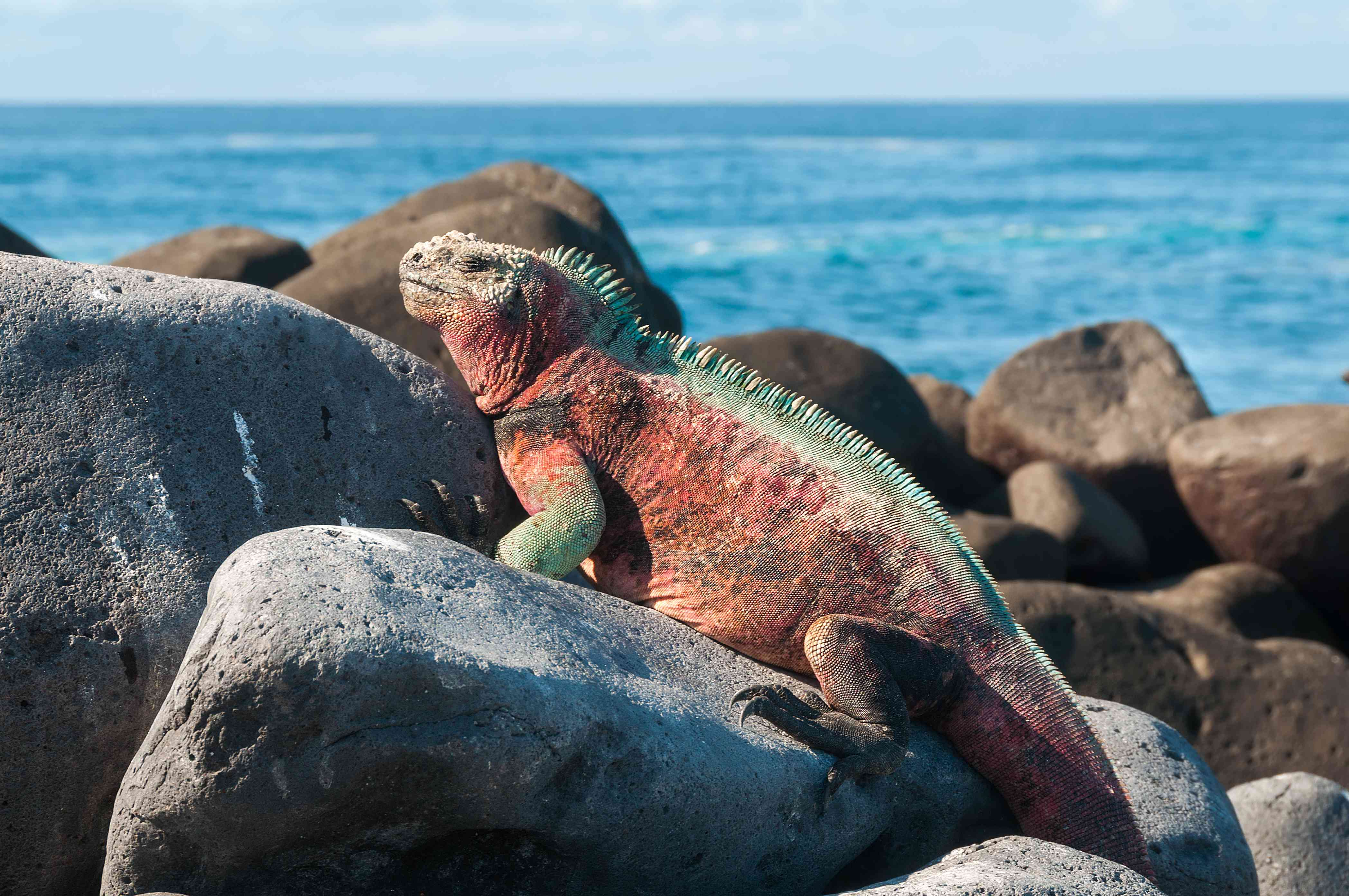 A red Galapagos marine iguana with green trim sunbathing on large rocks near the water