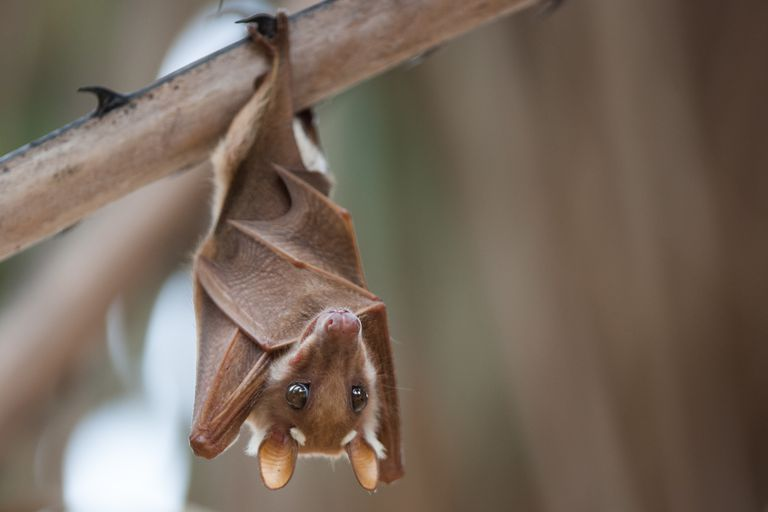 A fruit bat with its wings wrapped around its body hangs from a branch.