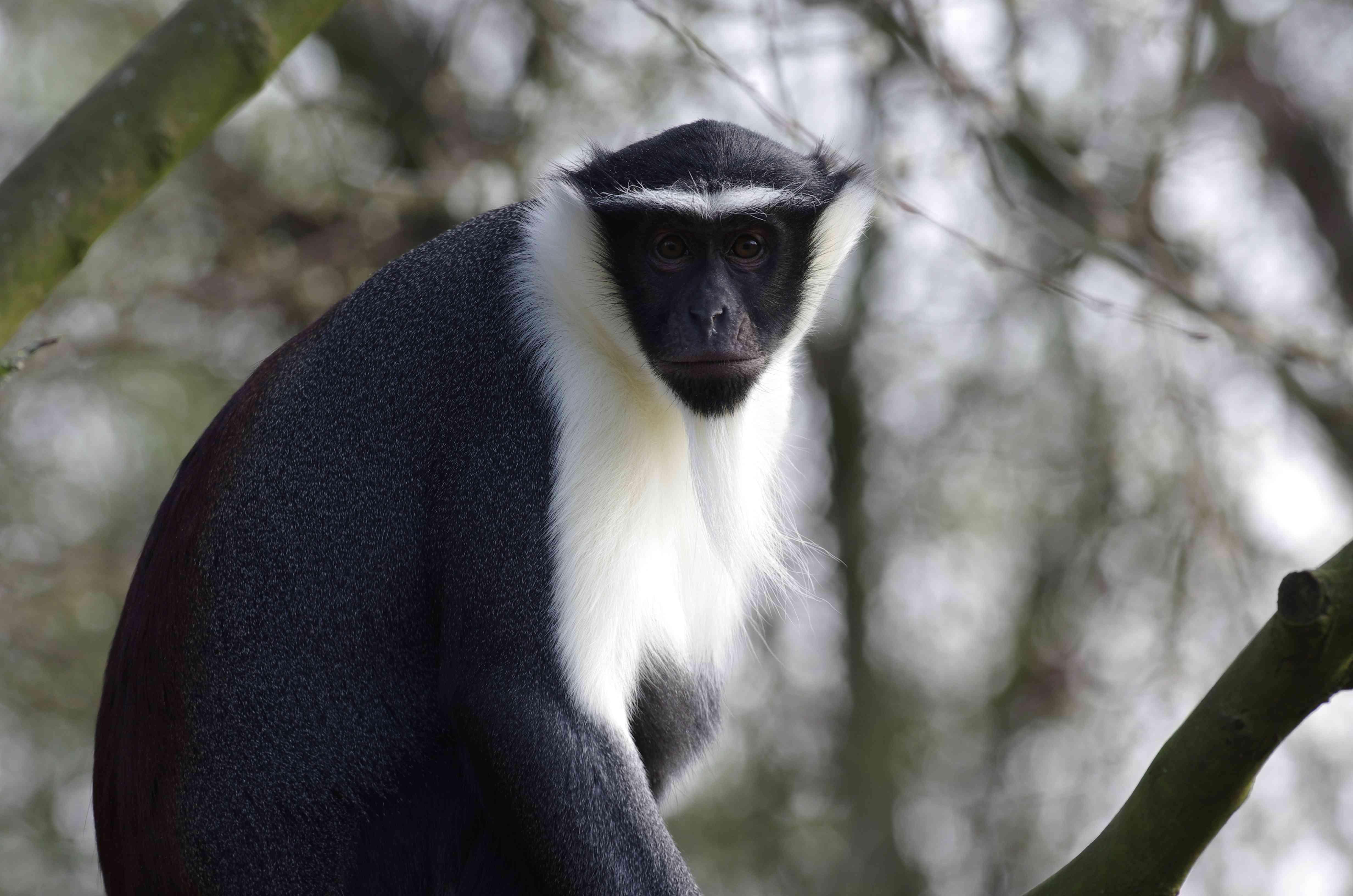 Roloway Monkey sitting in tree