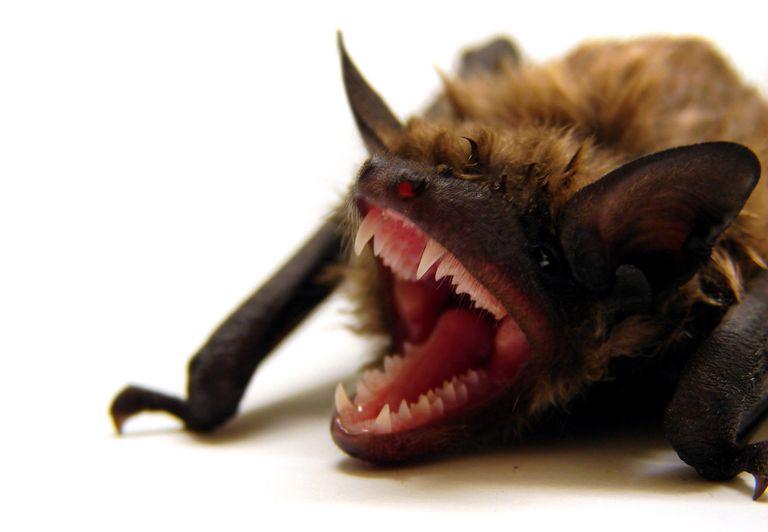 El síndrome de la nariz blanca acecha a los murciélagos
