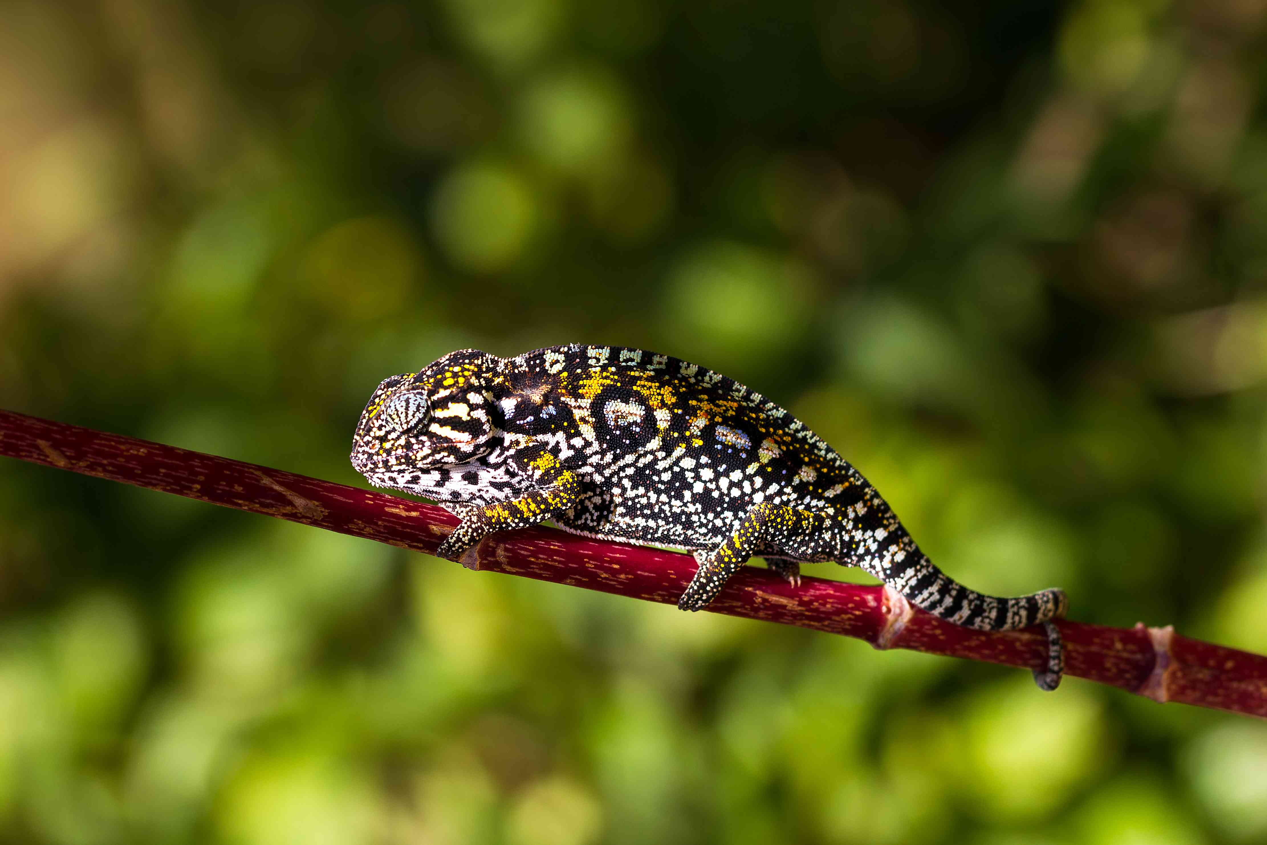 Jewelled chameleon on a tree branch