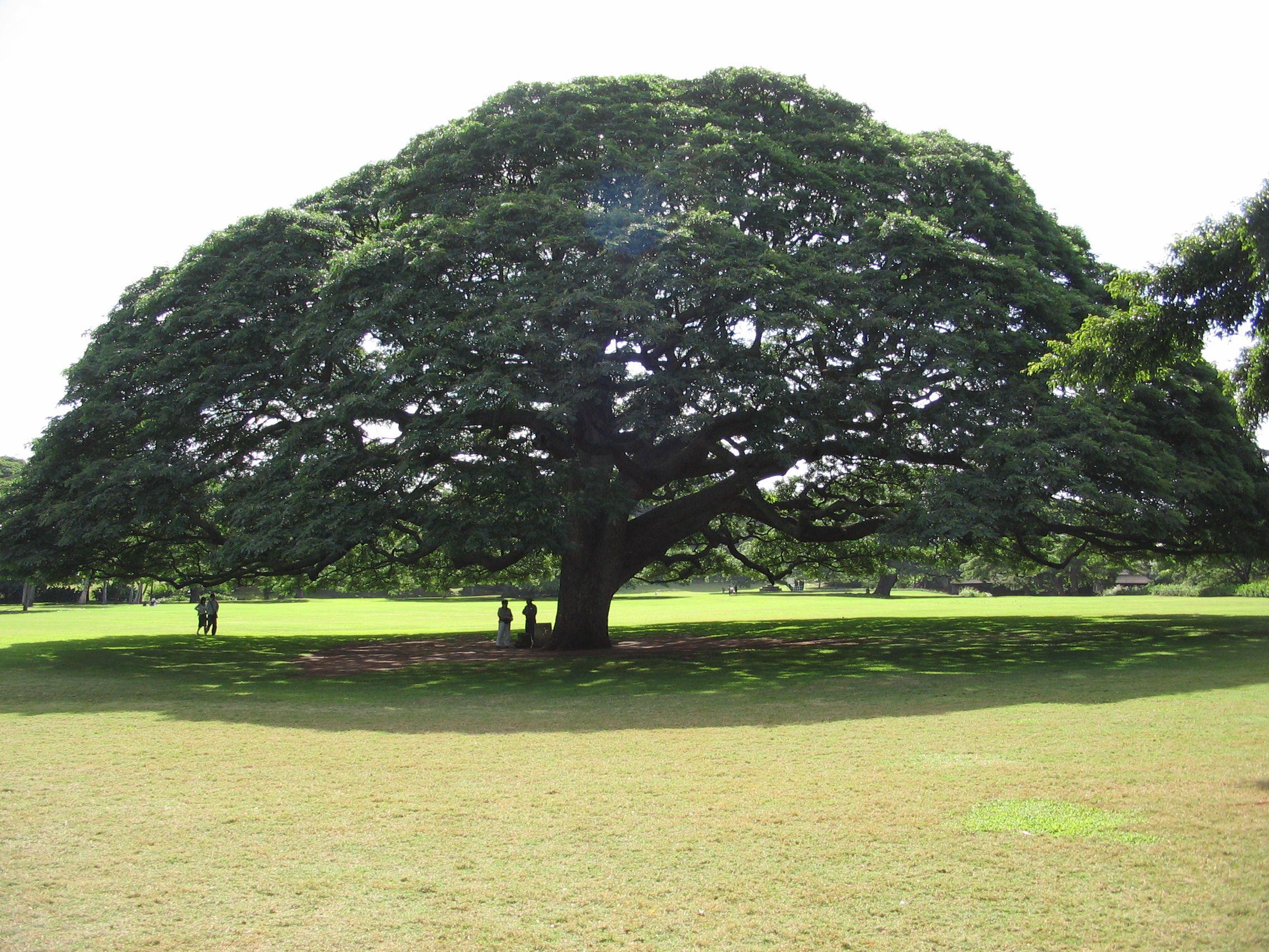 The Hitachi tree in Moanalua Gardens in Honolulu, Hawaii