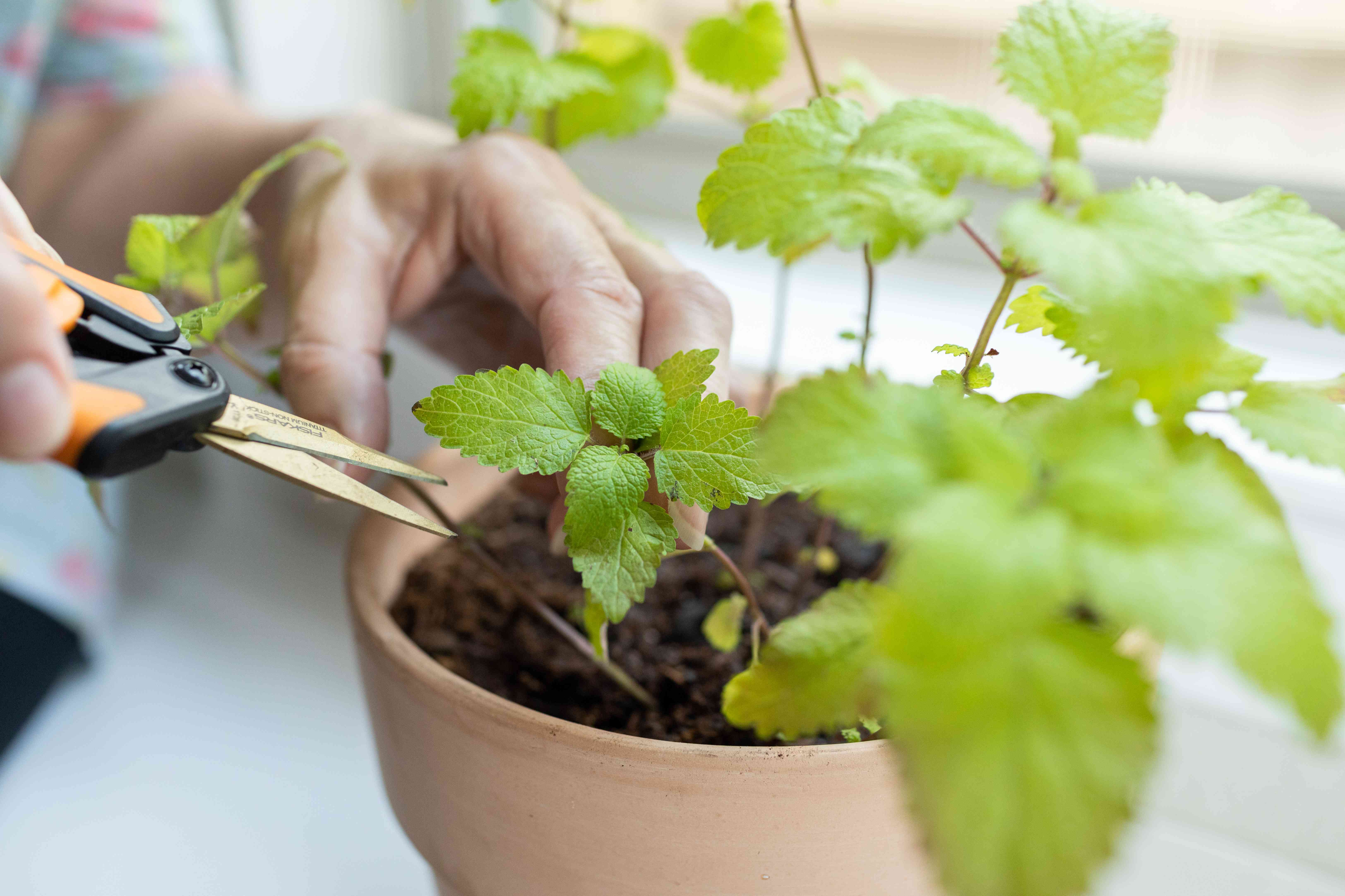 person with small gardening scissors cuts leaves off lemon balm plant inside