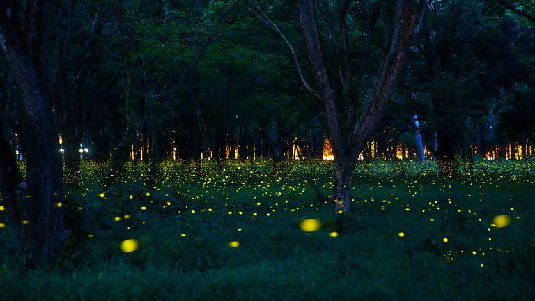 12 cosas que no sabías sobre las luciérnagas