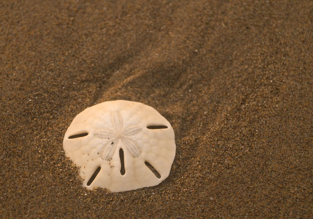 9 Things You Don T Know About Sand Dollars