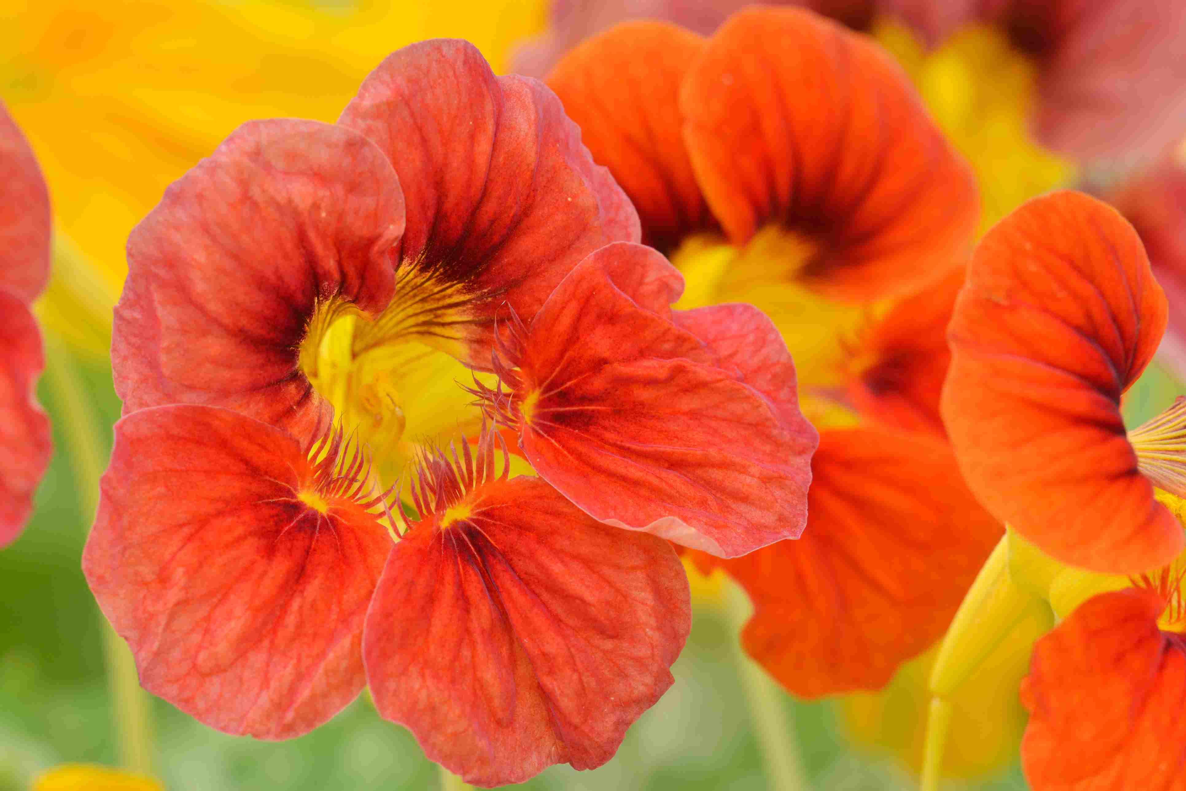 Nasturium blooms