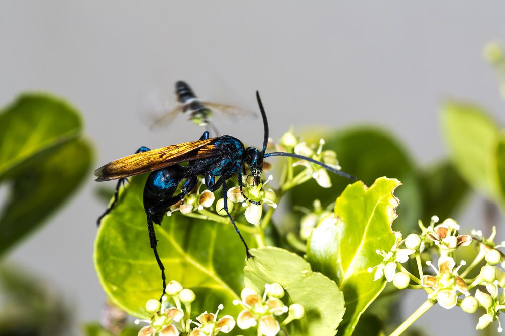 A tarantual hawk wasp on a flowering plant with green leaves
