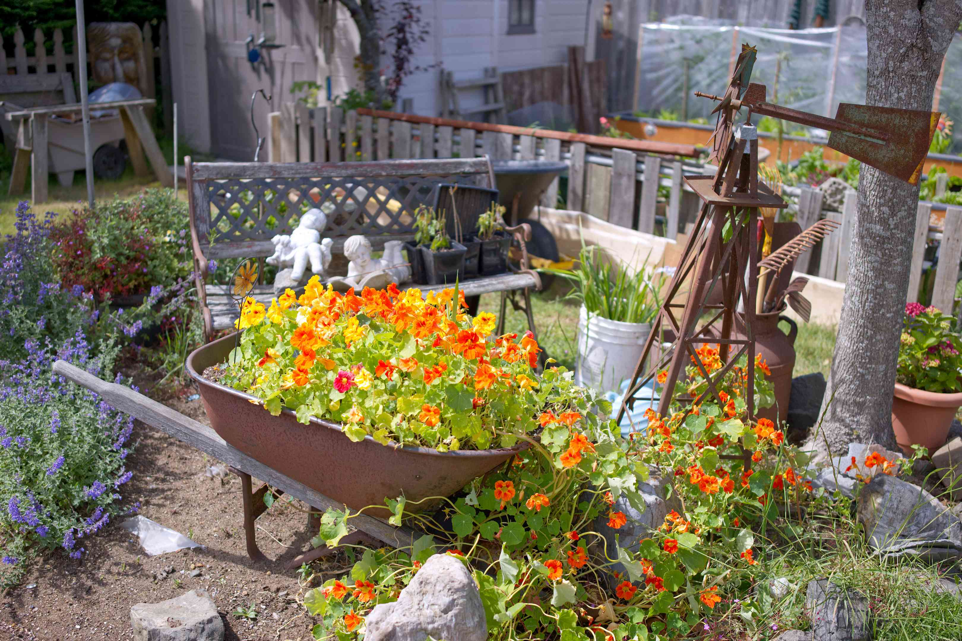 red nasturtiums grow in wheelbarrow and spill over onto ground of small garden