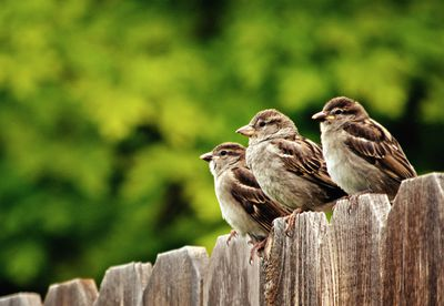 Three house sparrows perching on fence