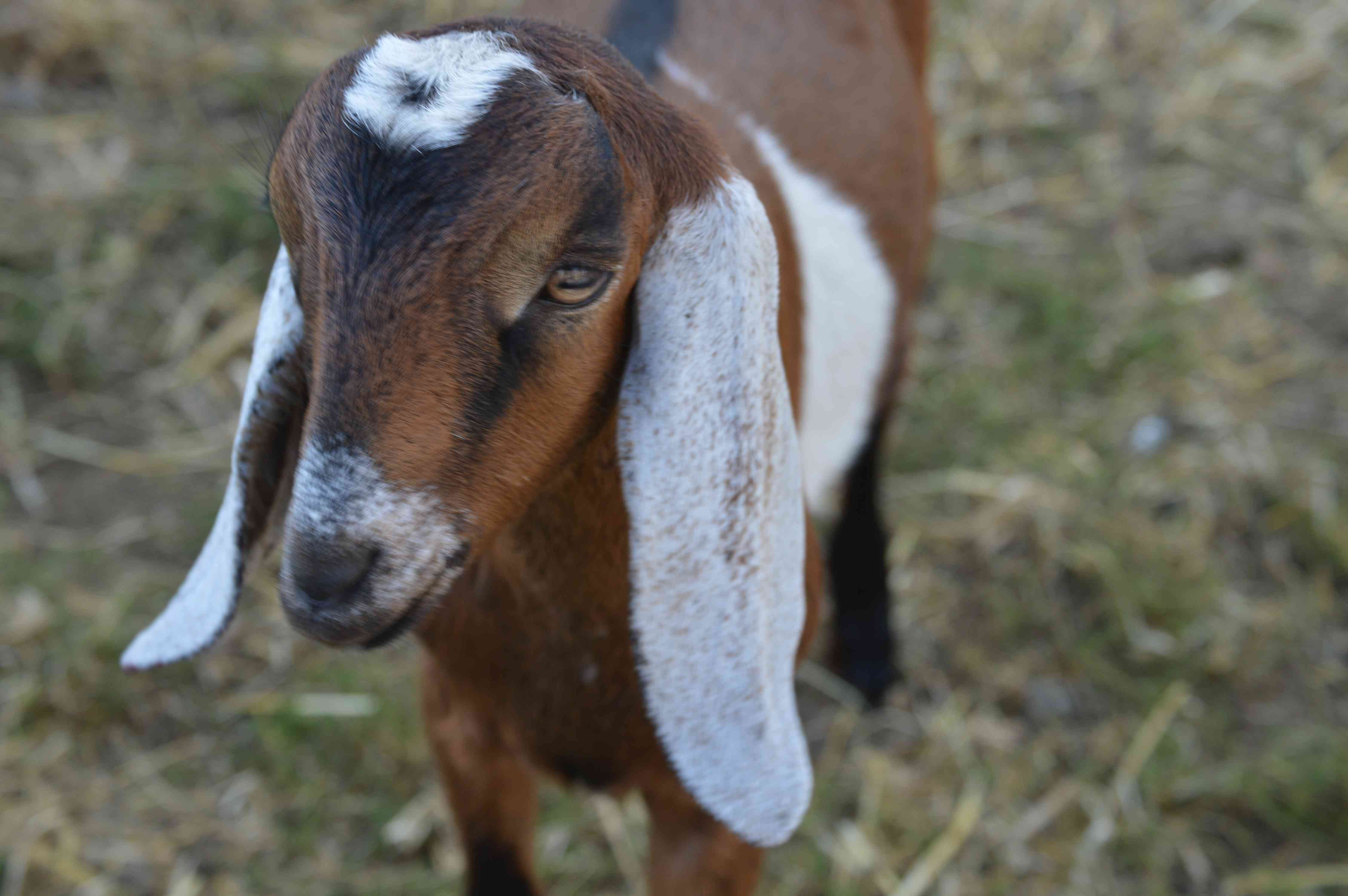 Close-up of Nubian kid goat's head and big ears