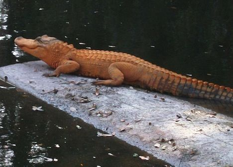 Orange Alligator Photo