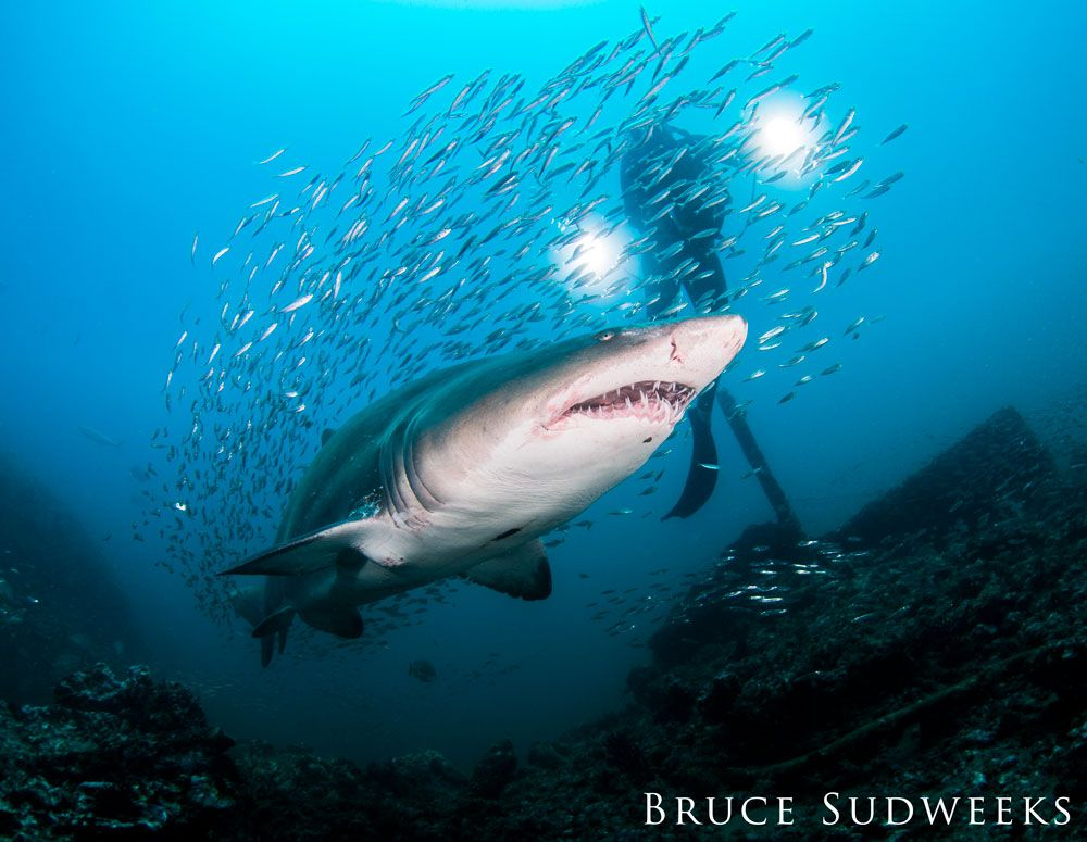 curious sand tiger shark