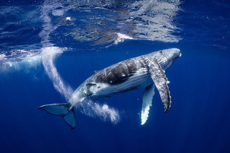A humpback whale underwater.